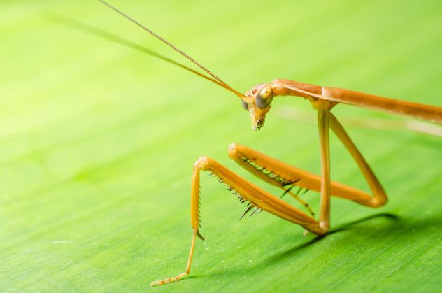 Praying mantis against greenery. Close- up of forelegs, upper body, head and antennae. #ambush #animal #antenna #antennae #arthropod #arthropoda #background #barbs #beneficial #black #brown #camouflage #camouflaged #carnivore #carnivorous #claws #close # - image gratuit #451867