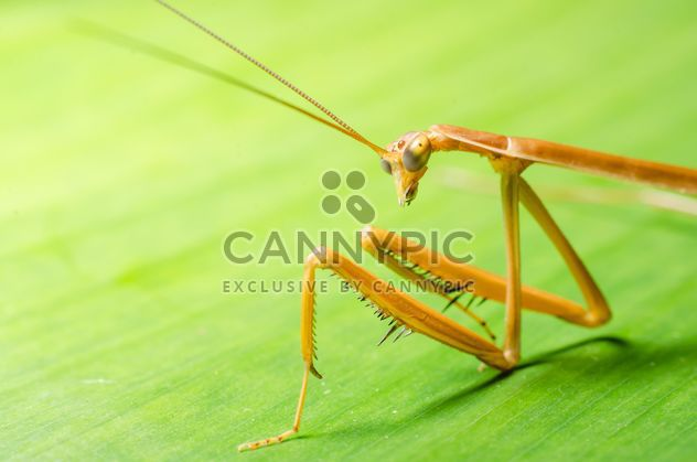 Praying mantis against greenery. Close- up of forelegs, upper body, head and antennae. #ambush #animal #antenna #antennae #arthropod #arthropoda #background #barbs #beneficial #black #brown #camouflage #camouflaged #carnivore #carnivorous #claws #close# - Free image #451867
