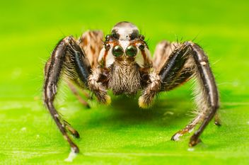 Brown jumping spider - image #451877 gratis