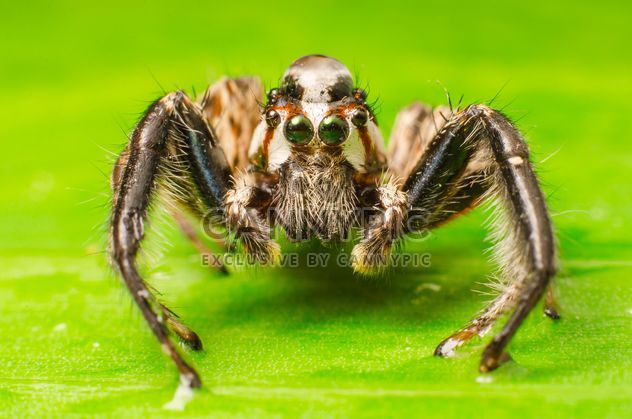 Brown jumping spider - Free image #451877