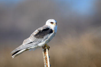 White-tailed Kite (juvenile) - бесплатный image #451947