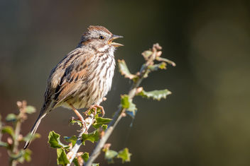 Song Sparrow - image #452077 gratis