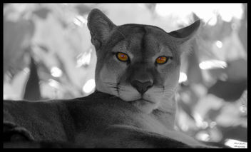 Panther Eyes - image gratuit #452207