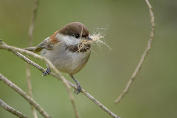 Chestnut-backed Chickadee - image gratuit #452837