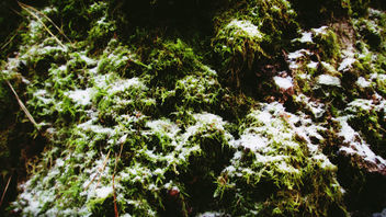 Moss and Snow - Free image #452887