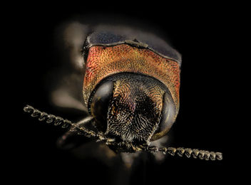 buprestid beetle, u, head, upper marlboro, md_2014-06-04-11.32 - бесплатный image #453237