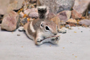 Antelope ground squirrel cuteness - Free image #453257