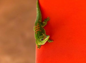 Green Gecko - Free image #453277