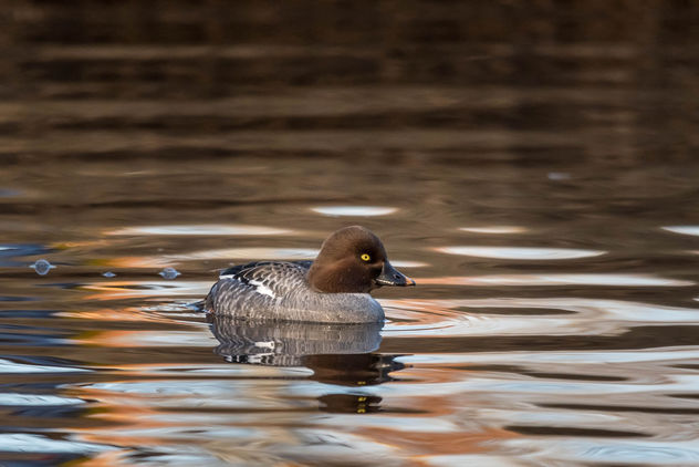 Female common goldeneye - image gratuit #453547