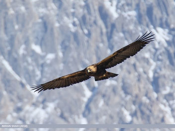 Golden Eagle (Aquila chrysaetos) - Free image #453577