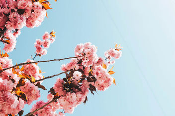 Trees with pink blooming flowers. Spring landscape. - Kostenloses image #453597