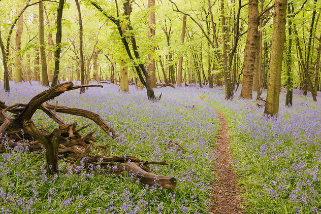 Bluebell woods - Kostenloses image #453767