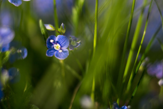 Speedwell - Free image #453787