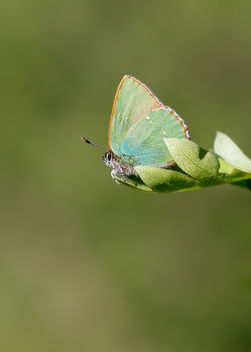 Green Hairstreak - Kostenloses image #453917