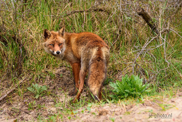 The Red Fox - Free image #454027