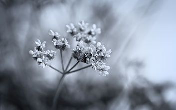 Unknown Umbellifer Plant - бесплатный image #454167