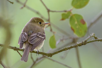 Pacific-slope Flycatcher - image gratuit #454197