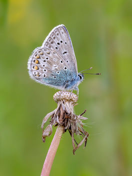Common Blue - Free image #454237