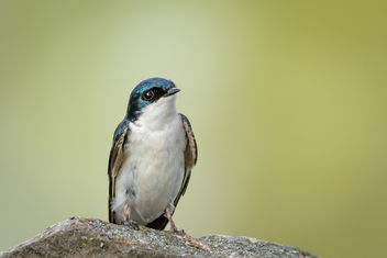Tree Swallow - image #454267 gratis