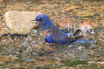 Western Bluebird taking a bath - бесплатный image #454387