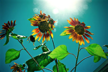 sunflowers under sun - image #454477 gratis