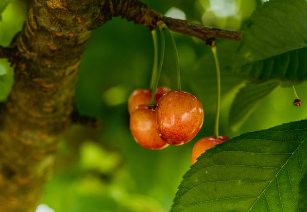 Cherries on cherry tree.jpg - image gratuit #454497
