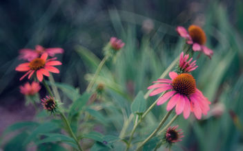 Coneflowers - color version, vintage look - image gratuit #454517