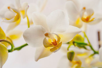 Orchid. #flower #macro #nature #HighKey #white #yellow #flora - Free image #454657