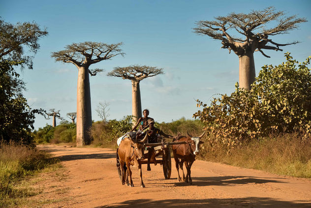 Baobabs and Cart - Free image #454707