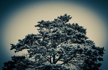 Pine. #pine #nature #pinetree #tree - image #454727 gratis