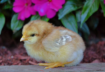 A Little Chick In The Garden - Kostenloses image #454767