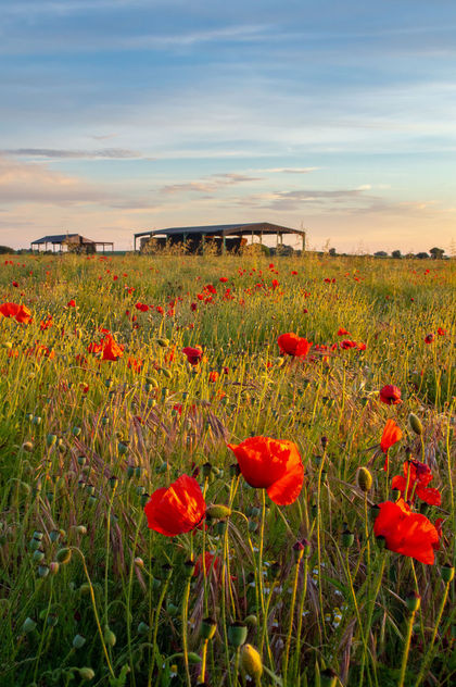 Yorkshire Poppies - Kostenloses image #454867