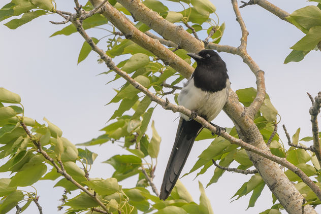 Black-billed Magpie - Free image #455107