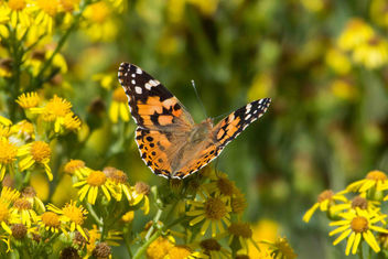 Painted lady - image #455417 gratis