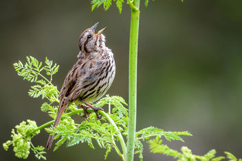Song Sparrow - Free image #455517