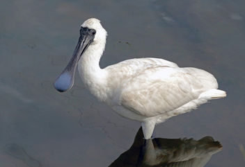 The royal spoonbill (Platalea regia) - бесплатный image #455537