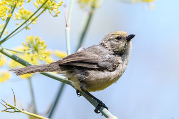 Bushtit (Pacific) (m) with pollen on its face - Free image #455547