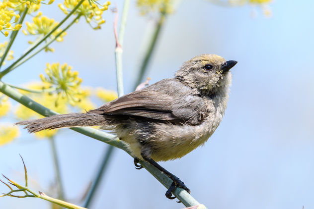 Bushtit (Pacific) (m) with pollen on its face - image gratuit #455547