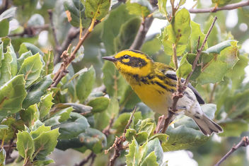 Townsend's Warbler (m) - Free image #455647