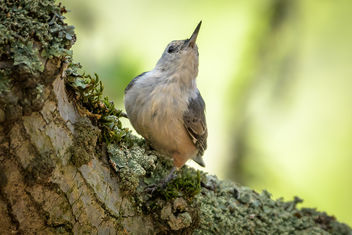 White-breasted Nuthatch - image gratuit #455707