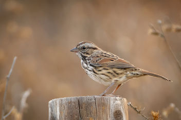 Song Sparrow - image #455717 gratis
