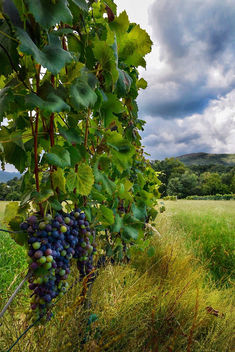 Grapes - Kostenloses image #455747