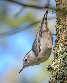 White-breasted Nuthatch - image gratuit #455997