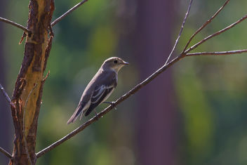Pied Flycatcher - Free image #456167