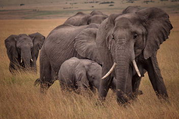 African Bush Elephants, Maasai Mara - бесплатный image #456717