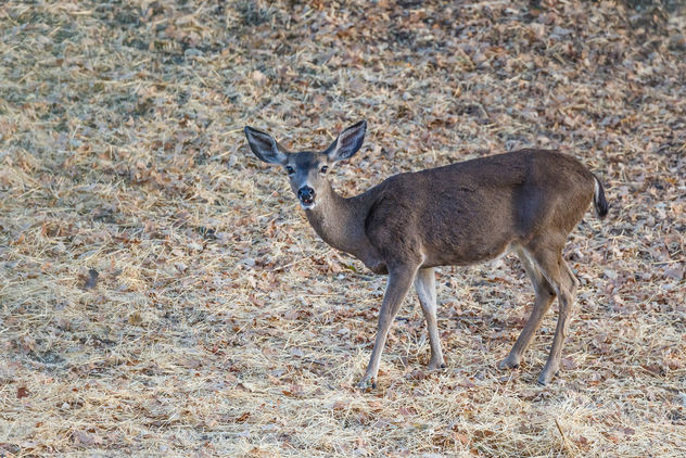 Black-tailed Deer - image #456987 gratis