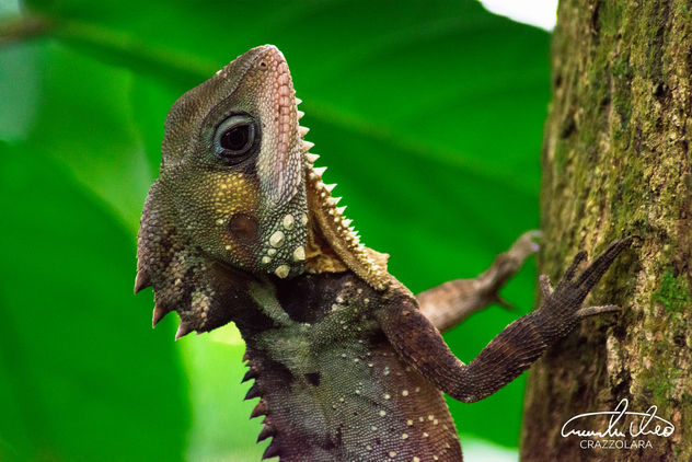 Boyd's Forest Dragon - Cape Tribulation - Free image #457107