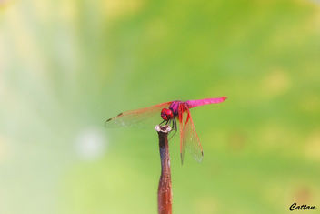 Red Dragonfly - image #457417 gratis