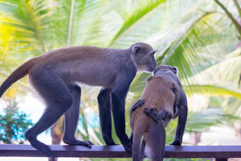 Vervet Monkeys - image #457667 gratis