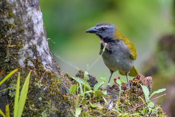 Buff-throated Saltator - Free image #457837